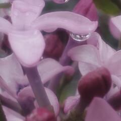ライラック/リラ/花/雨/春/紫丁香花 🌧️ライラック 紫丁香花 (むらさきはし…(3枚目)