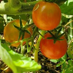 プランター/無農薬/ミニトマト 以前の投稿から10日、🍅 赤くなってるの…