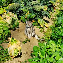 まーちゃん/ねこ/畑/野菜 畑のまーちゃん🐱 最近は外で、はしゃぐま…(5枚目)