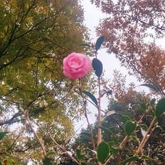 花/山茶花/秋 孤高の山茶花