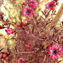 御柳梅/花 ギョリュウバイ  秋から咲き始めてるけど…(3枚目)