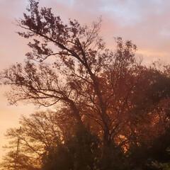 自然/木々/朝/秋/紅葉/朝焼け 朝焼けと木々