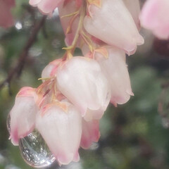アセビ/雨/雫/花 色褪せたアセビを潤す雨(1枚目)