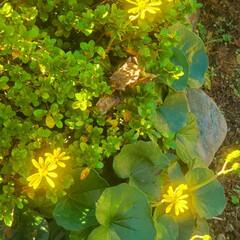 ねこ/まーちゃん/初冬/ツワブキ/花 見つけたよ、🐱🌼 ツワブキっていうんだっ…(3枚目)