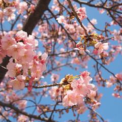 ピンク 近所の公園の河津桜です! 娘とお散歩で撮…