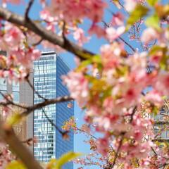 ピンク 都会で見つけたピンクの河津桜です。