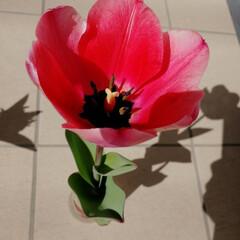 ちゅーりっぷ/ぴんく/ピンク お家のチューリップもピンクに色づいてきま…