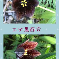 エゾクロユリ/山野草/高山植物 ウチのエゾクロユリ…高山植物 デッカイド…