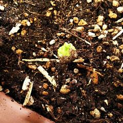 コーヒー/新芽/コーヒーの木 数ヵ月前に収穫したコーヒーの生豆を植えて…