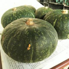かぼちゃ/とれたて/畑 我が家の畑で収穫できた(と言っても育てて…