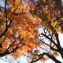 街路樹/紅葉/朱色 もう少し寒くなってからの時期でしたが、紅…