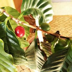 コーヒー/コーヒーの木/冬 長年栽培しているコーヒーの木、近年実をつ…