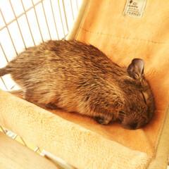 おやすみショット/デグー/寝顔 少し前の写真ですが、短い手を折りたたんで…