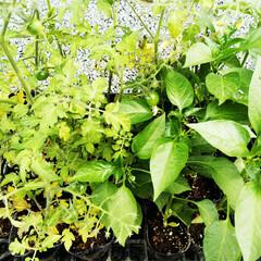 トマト/家庭菜園/鉢植え これから鉢に植えるための、ミニトマトの苗…