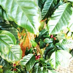 コーヒーの木/コーヒー/コーヒー豆/春の一枚 仕事場で育てているコーヒーの木。 順調に…