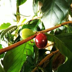 コーヒー/豆/コーヒーの木 育てているコーヒーの木に今年もだいぶ実が…