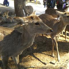 旅/奈良/鹿 昨年、歴史好きな息子のリクエストで、奈良…