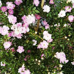 ミニバラ/初夏/おでかけワンショット 知り合いの育てているミニバラが満開になっ…