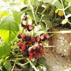 ブラックベリー/豊作/花壇 花壇に植えているブラックベリーは、暑い中…
