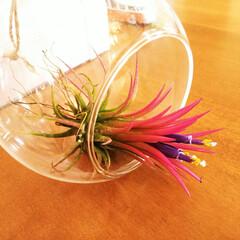 雑貨/エアプランツ/花/ガラス エアプランツに小さな花が咲きました。 1…