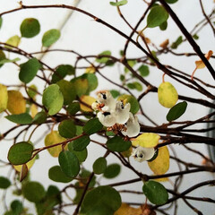 ワイヤープランツ/観葉植物/葉っぱ ワイヤープランツに、いつもの花とはちがう…