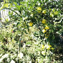 柚子/庭/木 今日は天気が良いので、日光が当たっている…