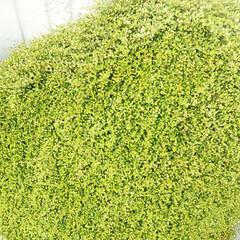 ワイヤープランツ/グリーン/草 こちら、育ちすぎたワイヤープランツです……