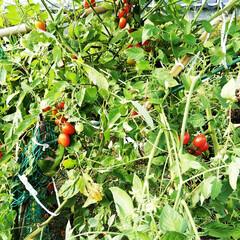 庭/ミニトマト/トマト トマトはあまりに暑いのもよくないみたいで…