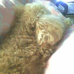 愛犬フォト/自慢の末っ子/自慢のわんこ/自慢のペット/おやすみフォト/おやすみベストショット/... あいかわらずお眠な♡フクくん♡ 起きてる…