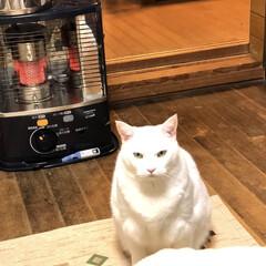 猫 ストーブの前で何か言いたげな王子。そうな…(1枚目)
