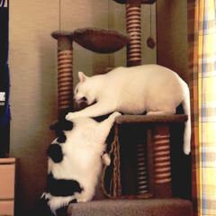 猫あるある/猫好き うちの♀猫 うーしー(白黒)。自分よりも…(3枚目)