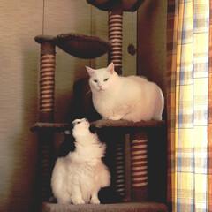 猫あるある/猫好き うちの♀猫 うーしー(白黒)。自分よりも…(2枚目)