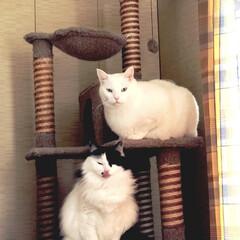 猫あるある/猫好き うちの♀猫 うーしー(白黒)。自分よりも…(1枚目)