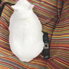 サイズ感/猫 うちの王子様😊  リモコンと比べて見た!…(1枚目)