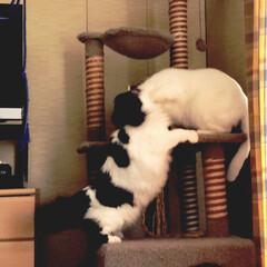 猫あるある/猫好き うちの♀猫 うーしー(白黒)。自分よりも…(4枚目)