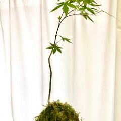 苔玉/緑のある暮らし/観葉植物 流行りの苔玉作りました。 意外と簡単にで…(1枚目)