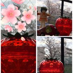 苺🍓と桜🌸満開/暮らし 私の部屋から桜🌸見物🌸 日差しが無いので…