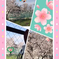 お別れの季節にふと思った/まだ咲いている満開の桜🌸 窓から見える学校の桜🌸 今年は早く咲いた…(1枚目)