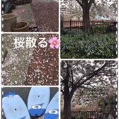 桜散る🌸 今、街の庶務のボランティアの配り物しなが…(1枚目)