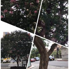 大きなサルスベリ 街の中に私の大好きなサルスベリの木があっ…
