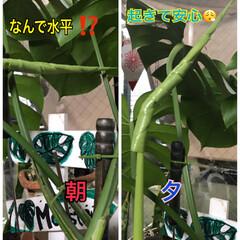 Monstera観察 Monstera朝観たら水平🙀なんでだ⁉…(1枚目)