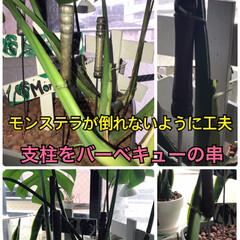 百均/ダイソー/バーベキューの木の持ち手付串の利用/モンステラもカッコよく モンステラも上にまっすぐ立つ植物では無…(1枚目)