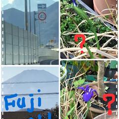 富士山/老人ホームの面会/狂い咲き菖蒲の花 東名高速乗り空いててスイスイ、1年ぶりに…
