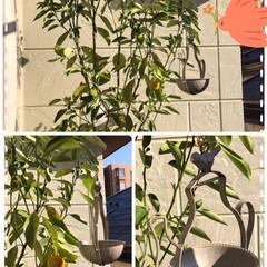 金柑に小鳥を呼びたい ベランダで金柑四季なり育ててますが収穫し…