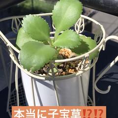 子宝草⁉️ これ、あと11苗あるんですが大きくなった…(1枚目)