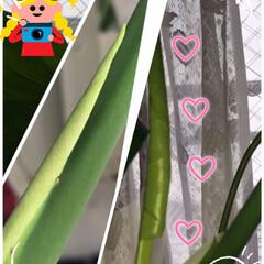 Monsteraの成長 Monsteraの茎に新しい葉っぱがくっ…