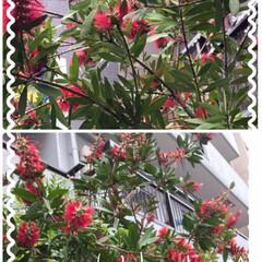 金宝樹ブラシの木 帰りにバードカフェのおばあちゃんママ、元…