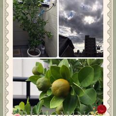 金柑を育てる おはようございます😃 天気は雲の多い変な…
