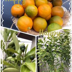 ベランダ栽培金柑四季ナリ収穫 ベランダ栽培金柑四季ナリ、収穫しました❣…