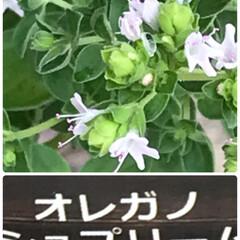 花のある暮らし/ハーブ🌿オレガノの効能 小さい花なんですがオレガノシユフリームが…(1枚目)